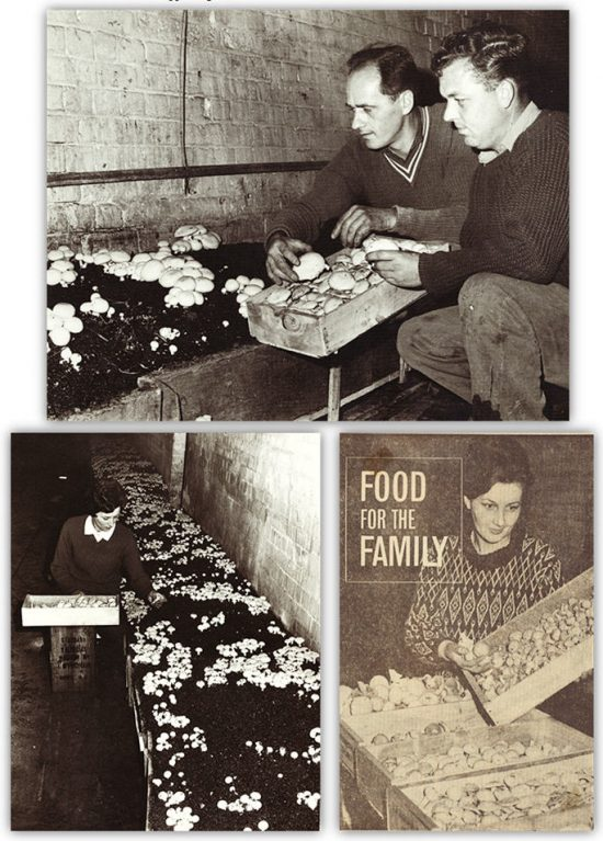 "Top: Craig Spiel and Dirk Ravenstein inspecting the mushrooms. Bottom Left: Ann Spiel picking mushrooms. Bottom Right: Mien Ravenstein extract from The Advertiser titled ""Food for the Family"" c.1968. (Source: Supplied)"